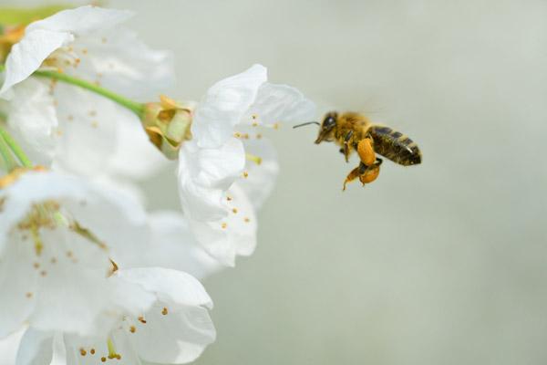 cerise de bessenay fleur abeille